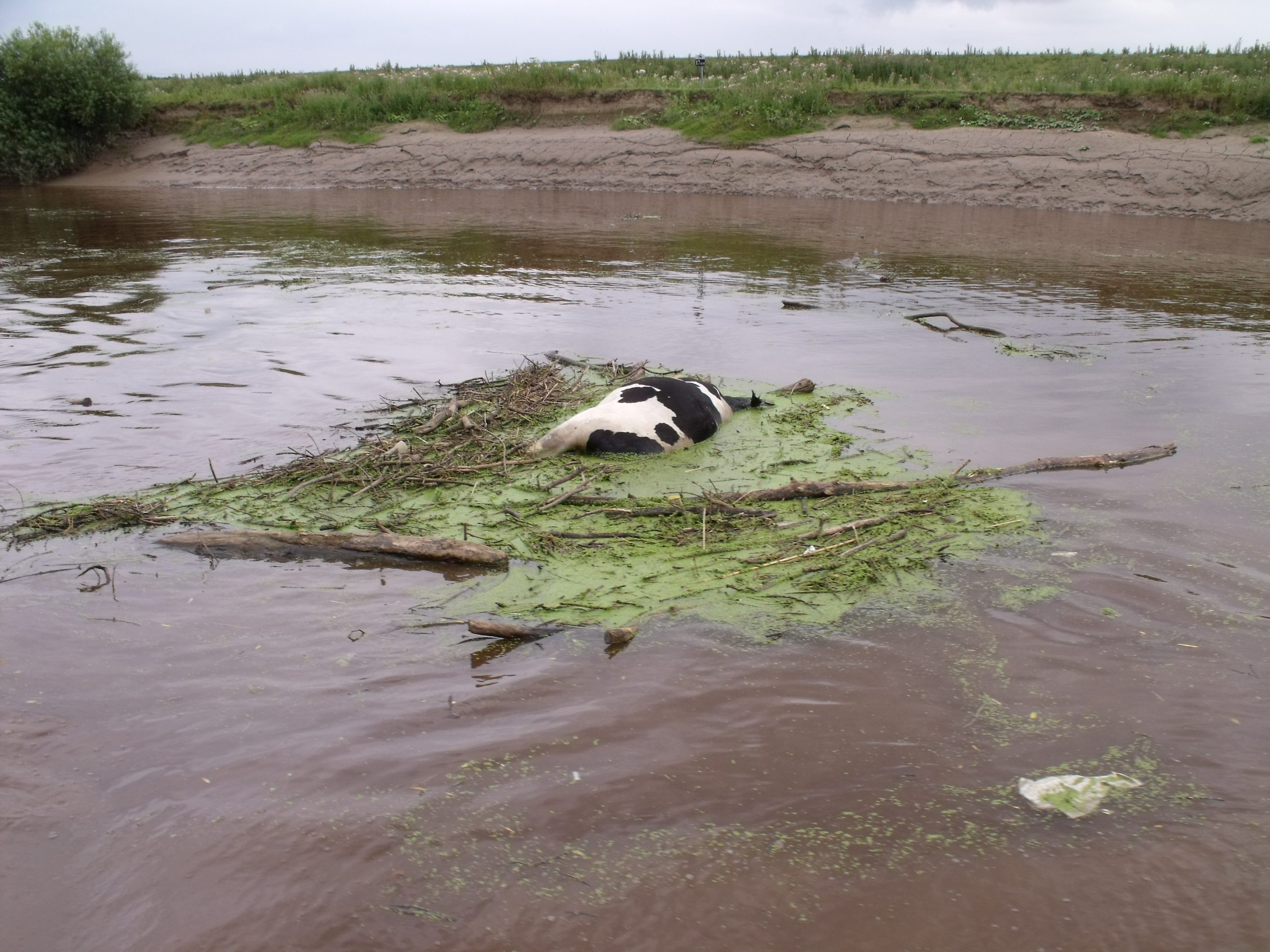 Dead Cow in the River Ouse